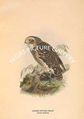 Fine art print of the LESSER SPOTTED OWLET - Carine Pulchra by R. Bowdler Sharpe (1891)