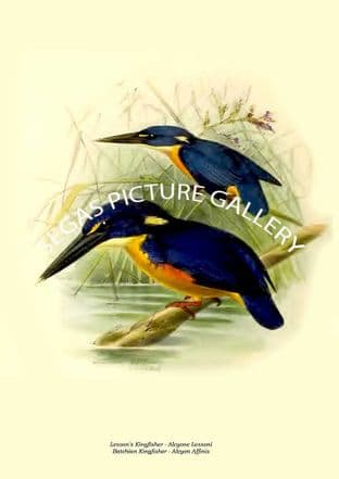 Lesson's Kingfisher - Alcyone Lessoni & Batchian Kingfisher - Alcyon Affinis