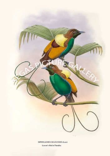 LESSONS BIRD OF PARADISE - diphyllodes seleucides (less)