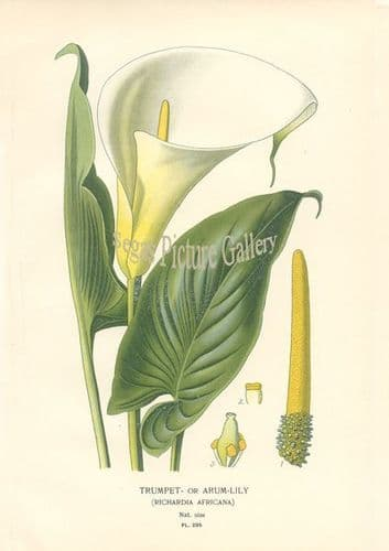 Lily, Trumpet Or Arum
