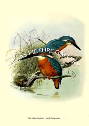 Little Indian Kingfisher - Alcedo Bengalensis