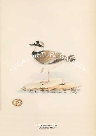 LITTLE RING DOTTEREL - Charadrius Minor