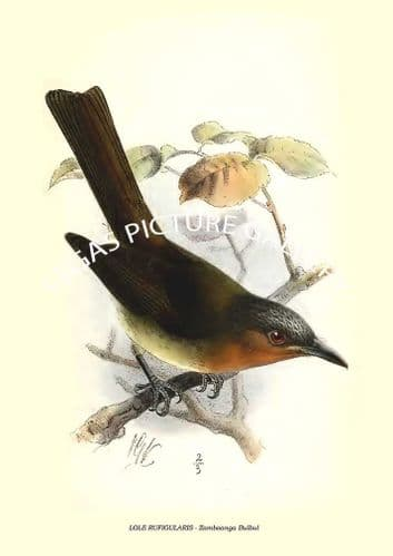 Fine art print of the LOLE RUFIGULARIS - Zamboanga Bulbul  by Richard Bowdler Sharpe (1881)