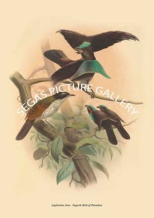 Lophorina Atra - Superb Bird of Paradise