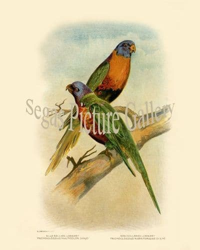 Lorikeet, Blue Bellied (Trichoglossus Multicolor)