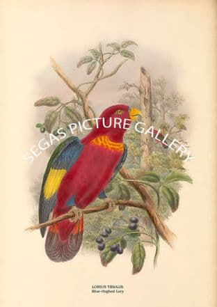 LORIUS TIBIALIS - Blue-thighed Lory