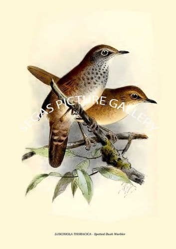 LUSCINIOLA THORACICA - Spotted Bush Warbler