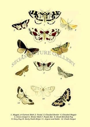 Magpie, or Currant Moth, Vestal, Clouded Border, Clouded Magpie, Green Carpet