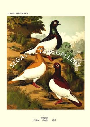 Magpies-Black,Red,Yellow