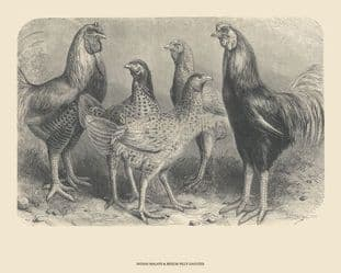 Malays, Indian; by Harrison Weir