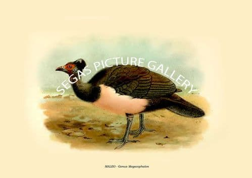 Fine art print of the MALEO - Genus Megacephalon by W. R. Ogilvie-Grant (1897)