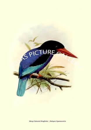 Many-Coloured Kingfisher - Halcyon Cyanoventris