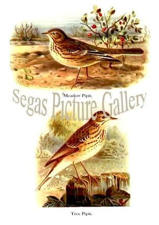 Meadow Pipit & Tree Pipit