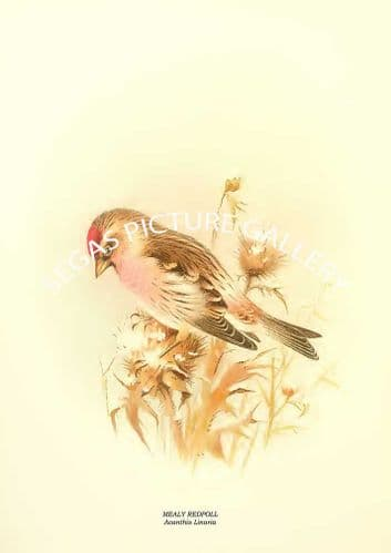 MEALY REDPOLL - Acanthis Linaria