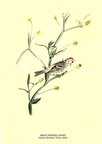 MEALY REDPOLL LINNET - Linaria Borealis, Temm, Male