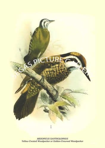 Mesopicus xantholophus - yellow-crested woodpecker or golden-crowned woodpecker