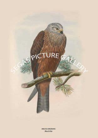 MILVUS MIGRANS Black Kite