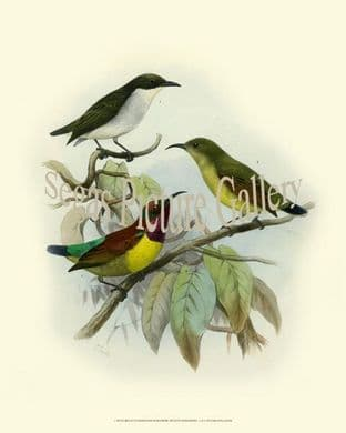 Mindanense, White Bellied Flowerpecker by Joseph Smit (1860)