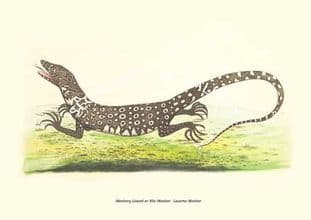 Monitory Lizard or Nile Monitor - Lacerta Monitor