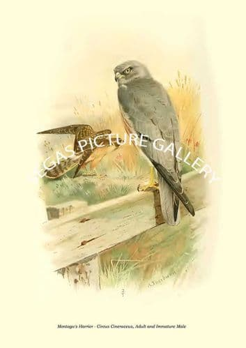 Montagu's Harrier - Circus Cineraceus, Adult and Immature Male