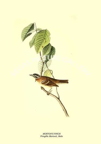 MORTONs FINCH - Fringilla Mortonii, Male