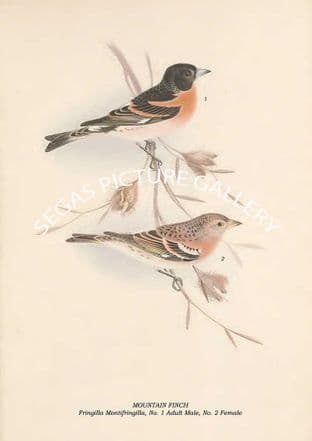 MOUNTAIN FINCH - Fringilla Montifringilla, No. 1 Adult Male, No. 2 Female