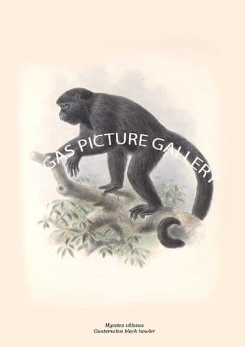 Fine art print of the Mycetes villosus - Guatemalan black howler by Edward R. Alston (1879-1882)