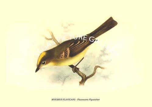 MYIOBIUS FLAVICANS - Flavescent Flycatcher