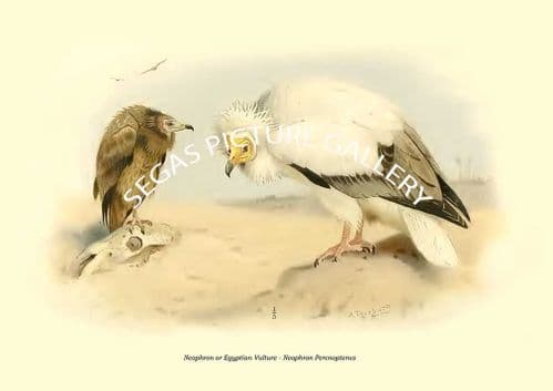 Neophron or Egyptian Vulture - Neophron Percnopterus