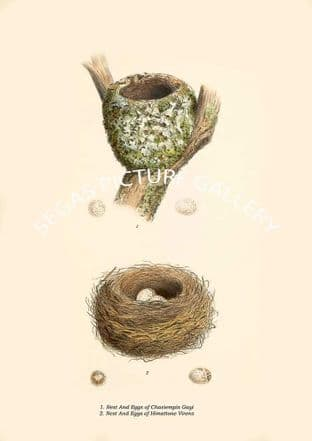 Nest & Eggs of Chasiempis Gayi & Nest & Eggs of Himattone Virens