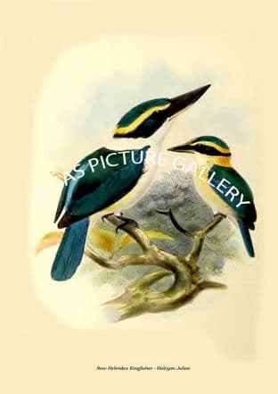 New Hebrides Kingfisher - Halcyon Juliae