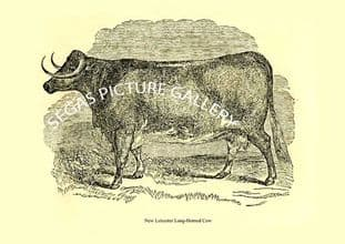 New Leicester Long-Horned Cow