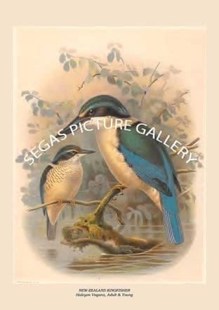 NEW-ZEALAND KINGFISHER - Halcyon Vagans, Adult & Young