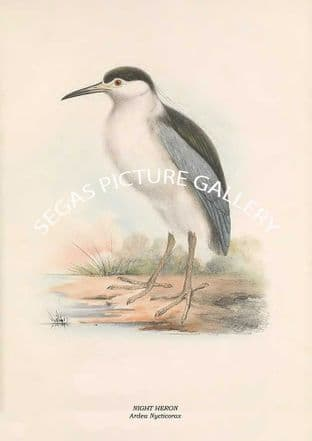 NIGHT HERON - Ardea Nycticorax