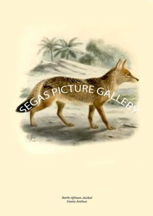 North-African Jackal, Canis Anthus