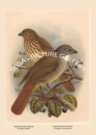 NORTH-ISLAND THRUSH - Turnagra Hectori, SOUTH-ISLAND THRUSH - Turnagra Crassirostris