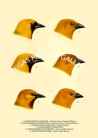 Northern Brown-Throated Weaver, Orange Weaver, Taveta Golden Weaver, Golden Palm Weaver