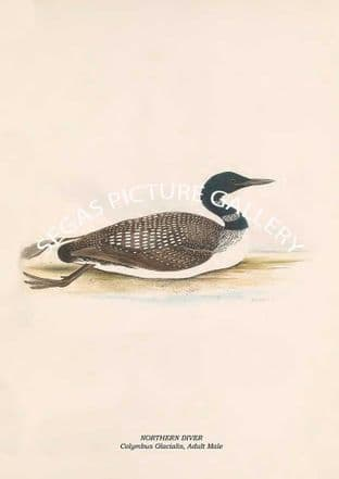 NORTHERN DIVER - Colymbus Glacialis, Adult Male