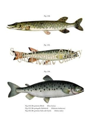 Northern Pike and Atlantic Salmon