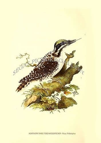 NORTHERN THREE TOED WOODPECKER - Picus Tridactylus