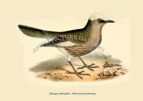 Fine art print of the Notauges Albicapillus - White-Crowned Starling by Philip Lutley Sclater (1859 to 1862) reproduced by Segas Picture Gallery.<br />Open Edition