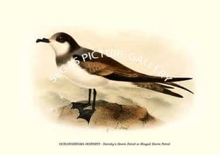 OCEANODROMA HORNBYI - Hornby's Storm Petrel or Ringed Storm Petrel