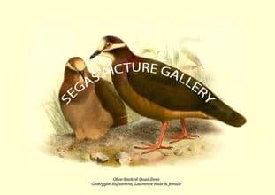 Olive-Backed Quail-Dove - Geotrygon Rufiventris, Lawrence male & female