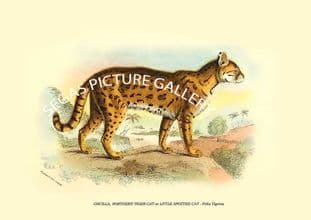 ONCILLA, NORTHERN TIGER-CAT or LITTLE SPOTTED CAT - Felis Tigrina