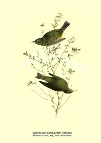 ORANGE-CROWNED SWAMP-WARBLER - Helinaia Celata, Say, Male and Female