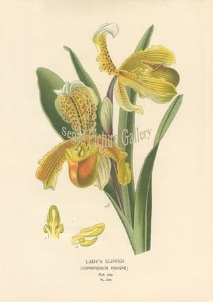 Orchid, Lady's Slipper