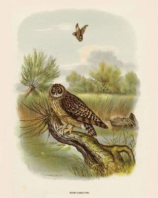 Owl, Short Eared by O V Riesenthal