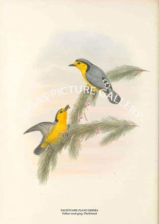 PACHYCARE FLAVO-GRISEA - Yellow-and-grey Thickhead