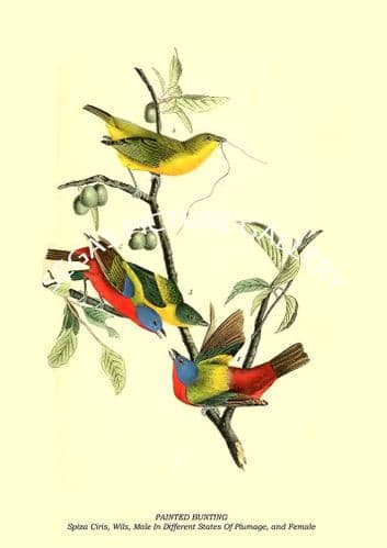 PAINTED BUNTING - Spiza Ciris, Wils, Male In Different States Of Plumage, and Female