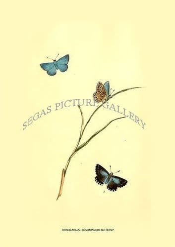 PAPILIO ARGUS - COMMON BLUE BUTTERFLY